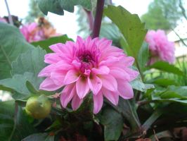 Pink Dahlia 2 by sweetsabee3540