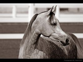 gray horse by UG3