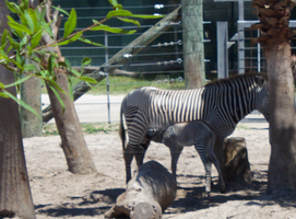 Tampa Zoo Zebra mom and baby by PyroGeekArt