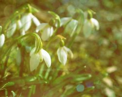 Snowdrops by ShadowinLight