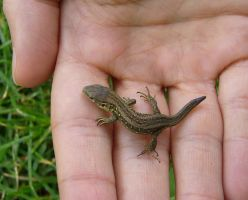 baby lizard by scarlette13