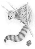 Upon the tree - Common Genet by MithiorenIthere