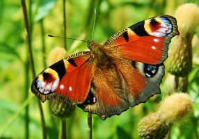 Peacock Butterfly by MP-Tuomela