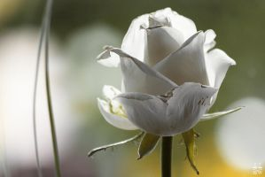 One white rose by Brigitte-Fredensborg