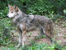Mexican Wolf Stock 3 by HOTNStock