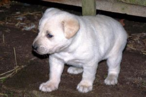 White pup II by black-cat16-stock