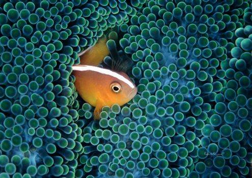 The Orange Anemonefish by LazyDugong