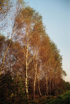 The wall of birches by Adi2012