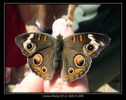 Common Buckeye III 9027 by Eolhin