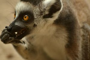 Lemur III by The-Other-Half-Of-Me