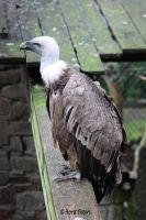 Vulture / Geier by bluesgrass
