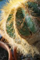 Eriocactus Magnificus by RMEdwards
