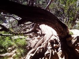 Twisted Walnut Canyon Tree by MistyTang