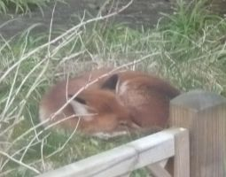 Foxy!!! (Zoomed) by Moka898