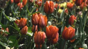 tulips by ThePusch