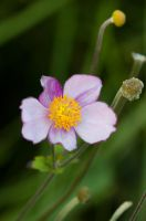 Anemone tomentosa robustissima by NightHalo