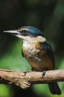 Kingfisher IV by carterr