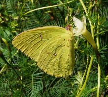 ....Cloudless Sulphur., by duggiehoo