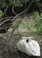 Nesting Swan by Vampiric-Time-Lord
