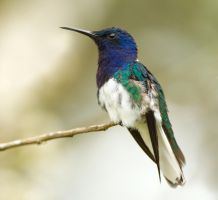 White-necked Jacobin Hummingbird by Jamie-MacArthur