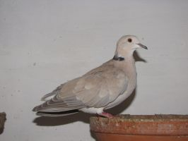 Barbary dove domestic variety2 by Faunamelitensis
