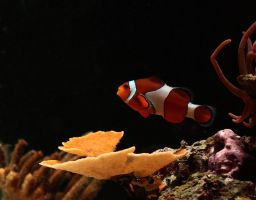 Clownfish by chalutplease