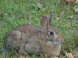Whitetail Rabbit III by chickadee-studio