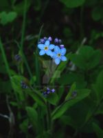 forget-me-not by 0n3g1rl