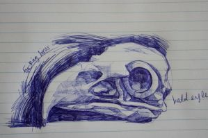 biro sketch - bald eagle by zhengzhou