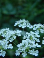 Sweet White Flowers 4 by hilldren