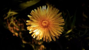 Dandelion in Shade by audiomad