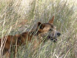 Dingo in the Grass by CluelessWorld