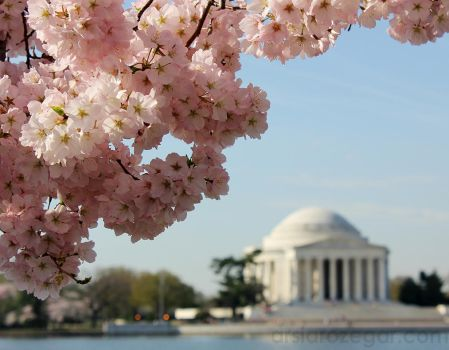 Cherry Blossoms at the Tidal Basin by rcrex