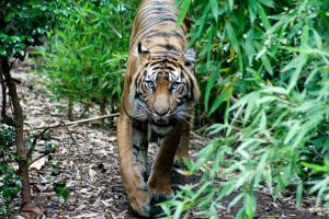 Stalking Tiger by Teh-ShadowMan