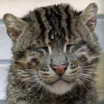 Fishing Cat by DocValerian