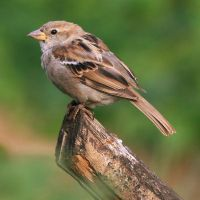 Sparrow by Leavylaulada