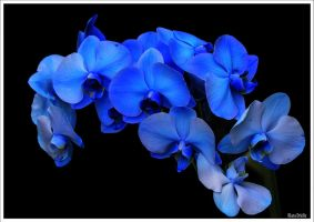 Cascade of blue orchids by KlaraDrielle