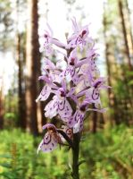 Wild orchid: violet by WolfyKaia