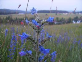 Blue Thistle by DorianBasil