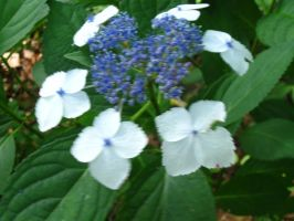 my Lace-cap hydrangea 3 by crazygardener