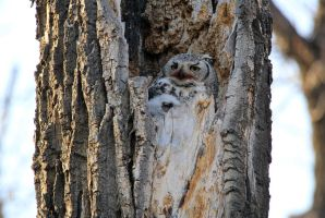 Great Horned Owl and Owlet by sgt-slaughter