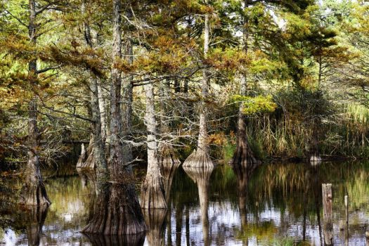 Bald Cypress by FoxPhotos