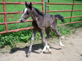 Gaited foal stock by CaballineCreations
