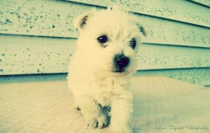White Puppy Wallpaper by colleenchiquita