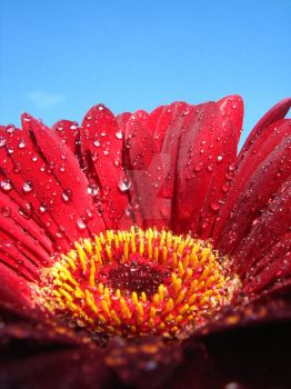 Gerbera by Found-Missing-89