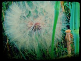 Dandelion by Chessta
