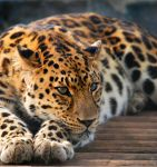 African Leopard 5 by shaunthorpe