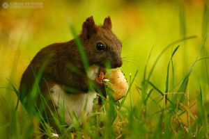 Squirrel eating mushrooms by adypetrisor