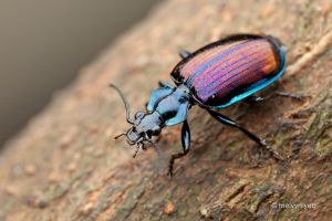 Ground beetle, Physodera eschscholtzii by melvynyeo