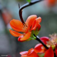 Chaenomales Japonica I by hyneige